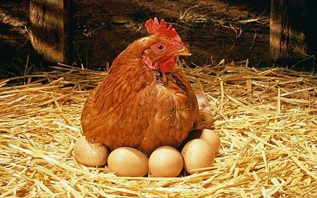 Курочка несушка за работой, сидит на яйцах